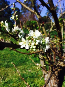Stone fruit blossoms in the orchard
